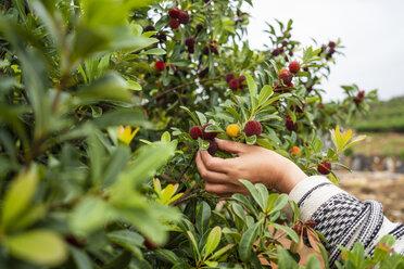 Young man harvesting waxberries - KKAF01547