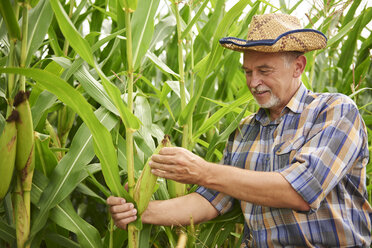 Farmer at cornfield examining maize plants - ABIF00945