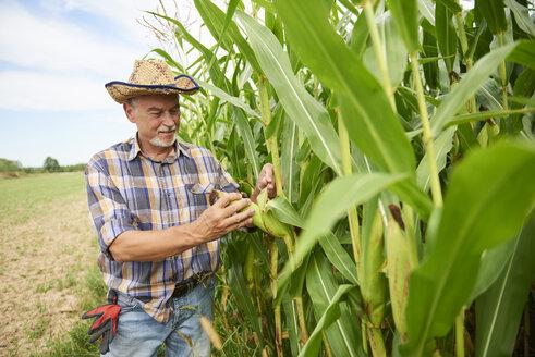 Farmer at cornfield examining maize plants - ABIF00948