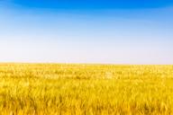 United KIngdom, East Lothian, Barley field, Hordeum vulgare - SMAF01144