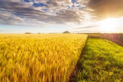 United KIngdom, East Lothian, Barley field, Hordeum vulgare - SMAF01147
