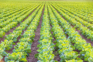 United KIngdom, East Lothian, field of brussels sprouts, Brassica oleracea - SMAF01150
