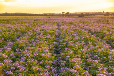 United KIngdom, East Lothian, flowering potato field, Solanum tuberosum, at sunrise - SMAF01153