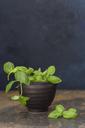 Fresh basil in pot - JUNF01240