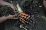 Senior woman's hands holding harvested carrots - KMKF00488