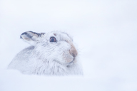 Mountain Hare,Lepus timidus Close up portrait of an adult in its white winter coat trying to conceal itself in the snow. February. Scotish Mountains, Scotland, UK. - AURF03463