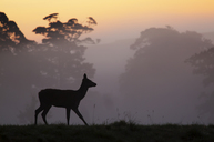 Red Deer hind at sunrise in British contryside,Somerset,UK - AURF03505