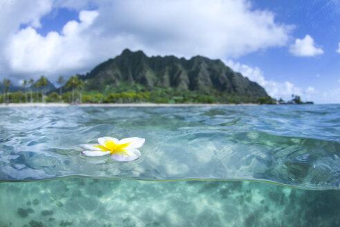 A Plumeria Flower Floating On Water In Kualoa Ridge On Oahu's East Side - AURF03717