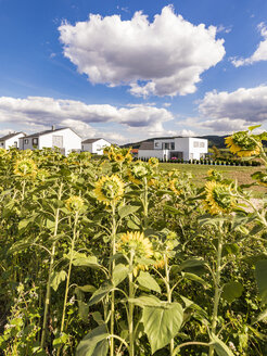 Germany, Baden-Wuerttemberg, Suessen, sunflower field and modern houses - WDF04831