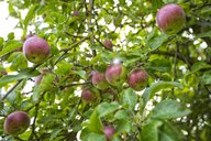 Red apples in tree - MAEF12744