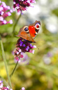 Peacock butterfly on blossom, Inachis Io - JTF01056