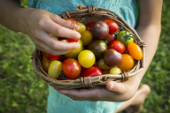 Hands of little girl holding basket of Heirloom tomatoes, close-up - LVF07423