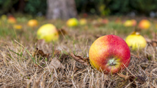 Windfall apples on ground - MHF00472