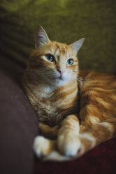 Ginger cat lying on couch - RAEF02141