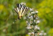 Albania, Scarce swallowtail, iphiclides podalirius, on echium - SIEF08010