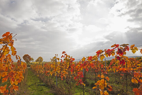 Germany, Rhineland-Palatinate, vineyards in autumn colours, German Wine Route - GWF05651
