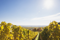 Germany, Rhineland-Palatinate, vineyards in autumn colours, German Wine Route - GWF05654