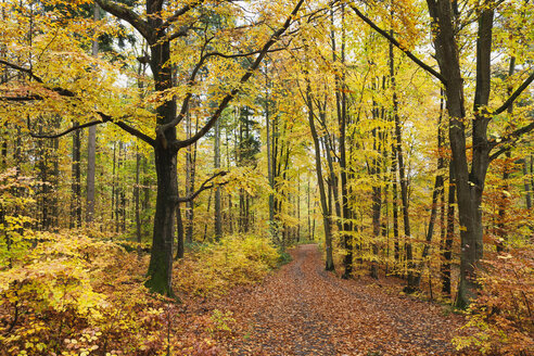 Germany, Rhineland-Palatinate, Palatinate Forest Nature Park in autumn - GWF05660