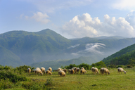 Albania, Shkoder, flock of sheep - SIEF08029
