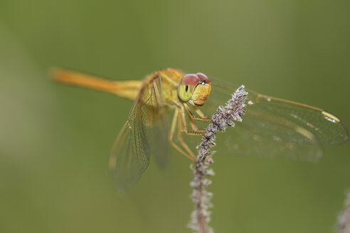 Scarlet skimmer, Crocothemis servilia, dragonfly, close-up - ZCF00658