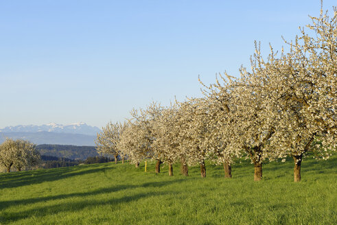 Switzerland, blossoming cherry trees on a meadow with view to the Alps - RUEF01942