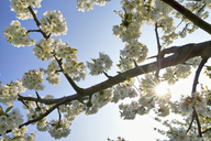 White cherry blossoms at backlight - RUEF01945