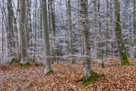Hoar-frost at beech forest - RUEF01948
