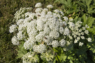 Giant Hogweed with bees - WIF03605