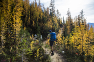 A young man hikes through the colorful larch trees in the Pasayten Wilderness on the Pacific Crest Trail (PCT) in Washington. - AURF04264