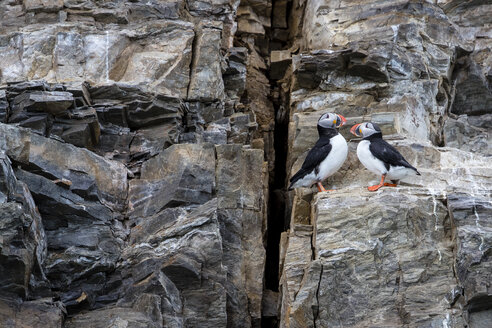 Two Atlantic puffins (Fratercula arctica) perching on side of cliff, Spitsbergen, Svalbard and Jan Mayen, Norway - AURF04833