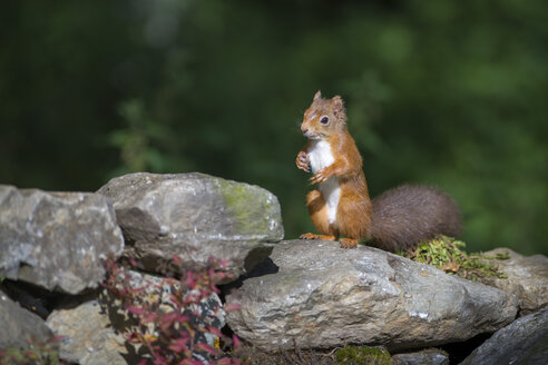 Red squirrel standing on hind legs - MJOF01558