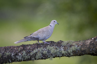 Eurasian collared dove on tree trunk - MJOF01561