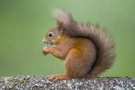 Portrait of red squirrel on tree trunk - MJOF01564