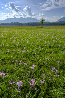 Germany, Bavaria, Murnauer Moos, Meadow saffron growing in the field - LBF02100