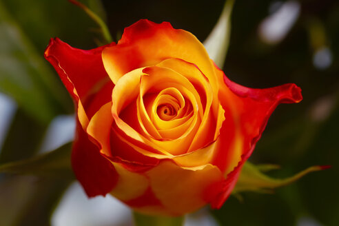 Red orange rose blossom, close-up - JTF01071