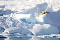 Afternoon nap on an ice promontory, Ursus maritimus, Spitsbergen, Svalbard - AURF04860