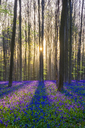 Bluebell flowers in hardwood beech forest in Hallerbos - AURF04923