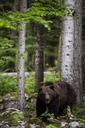 Brown bear in the forest, Ursus Arctos, Zabice, Slovenia - AURF04926