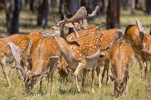 Fallow Deer (Dama dama), herd of does in summer, Montes de Toledo. Castilla la Mancha - AURF05058