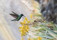Humming-bird - Venezuela expedition