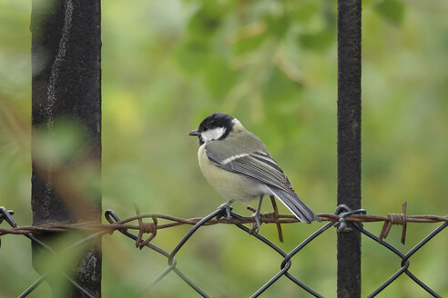 Great tit perching on wire fence - JTF01076