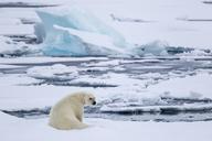 Sitting and looking back, Ursus Maritimus, Spitzbergen, Svalbard - AURF05544
