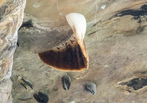Thailand, Pha Taem National Park, nest of himalayan giant honey bee, Apis laboriosa, bee gum on rock - ZCF00662