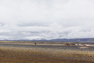 Iceland, Highlands of Iceland, Landmannalaugar, Icelandic horses, Fjallabak Nature Reserve - MMAF00548