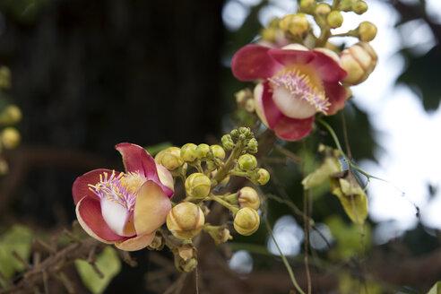 Thailand, Blossoming shala tree, shorea, robusta - ZCF00663