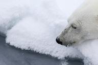 Waiting for a prey, Ursus Maritimus, Spitzbergen, Svalbard - AURF05722