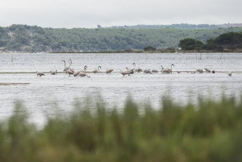 France, Narbonne, Etang de la Seche, Flamingos in lake - SKCF00529