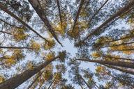 Germany, Brandenburg, Beelitz, Pine Forest, worm's eye view - ASCF00878