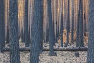 Germany, Brandenburg, Beelitz, Pine Forest, slash and burn - ASCF00881