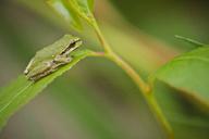 American green tree frog (Hyla cinerea) sitting on leaf, Langley, British Columbia, Canada - AURF06523